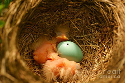 Baby Robins2 Poster