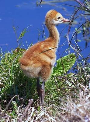 Poster featuring the photograph Baby Sandhill Crane 064  by Chris Mercer
