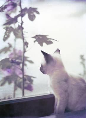Baby Siamese Kitten Poster