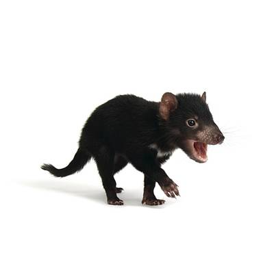 Baby Tasmanian Devil Poster by Science Photo Library