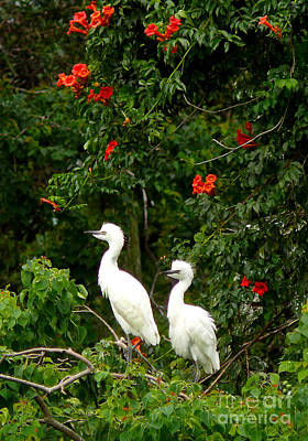 Baby White Egrets Poster by Jeanne  Woods