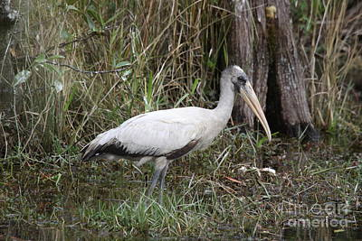 Baby Wood Stork Poster