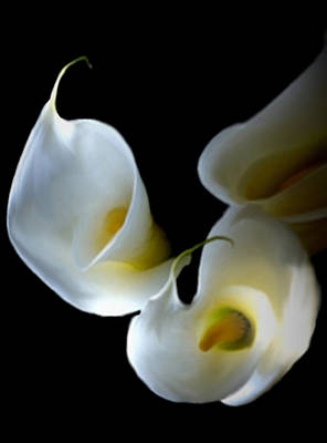 Back-lit Calla Lily Poster by Dennis Buckman