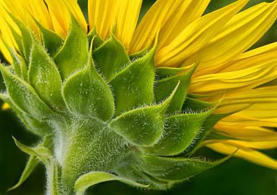 Back Of Sunflower Poster