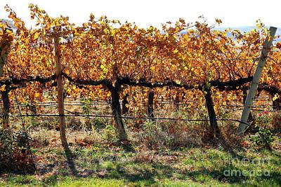Backlit Autumn Vineyard Poster by Carol Groenen