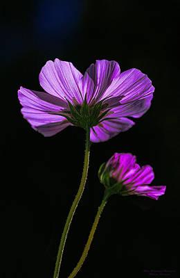 Backlit Blossoms Poster