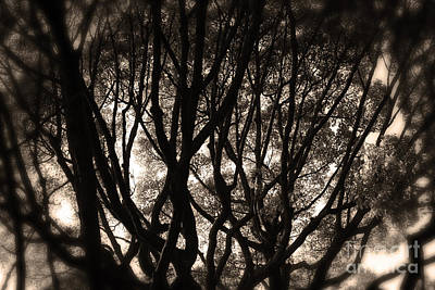 Backlit Branches Of A Majestic Tree II Poster
