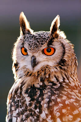 Backlit Eagle Owl Poster by Roeselien Raimond