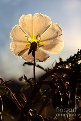 Backlit Evening Primrose Poster