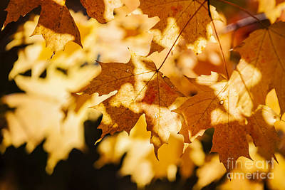 Backlit Fall Maple Leaves Poster by Elena Elisseeva