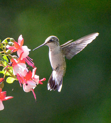 Backlit Fuchsia And Hummer Poster