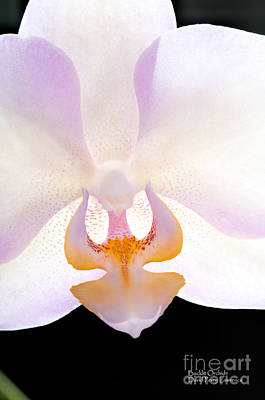 Poster featuring the photograph Backlit Orchid by David Perry Lawrence