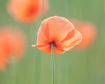Backlit Poppies Poster