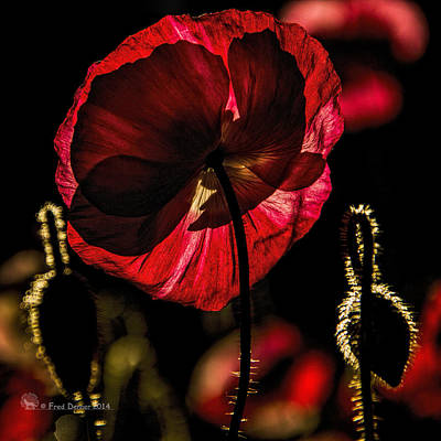 Backlit Poppy Poster