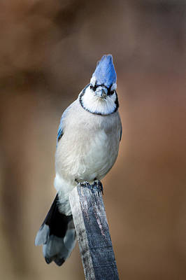 Backyard Birds Blue Jay Poster by Bill Wakeley