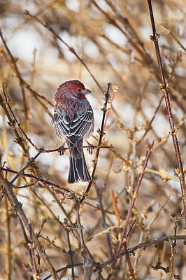 Backyard Birds Male House Finch Poster by Bill Wakeley