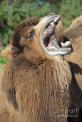 Bactrian Camel Yawning Poster by George Atsametakis