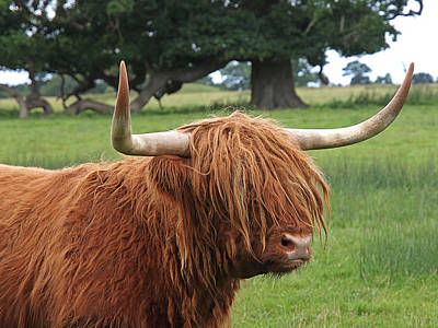 Bad Hair Day - Highland Cow Poster
