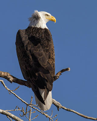 Poster featuring the photograph Bald Eagle 1 by Rob Graham