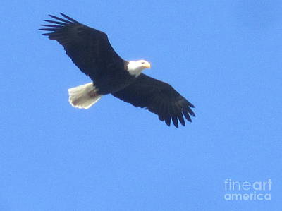 Bald Eagle At Lake Rowena Poster by Jeffrey Koss