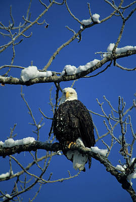 Bald Eagle, Chilkat River, Haines Poster by Gerry Reynolds