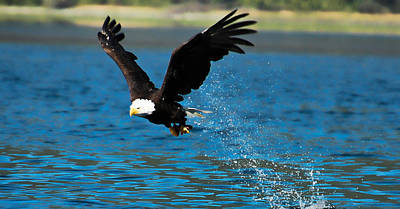 Poster featuring the photograph Bald Eagle Fishing by Don Schwartz