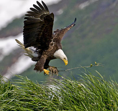 Bald Eagle Gathering Materials For A Poster