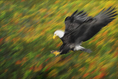 Bald Eagle Haliaeetus Leucocephalus Poster by Thomas Kitchin & Victoria Hurst