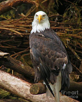 Bald Eagle I Poster