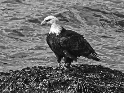 Poster featuring the photograph Bald Eagle In Black And White by Timothy Latta