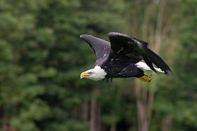 Bald Eagle In Flight Poster by Linda Wright