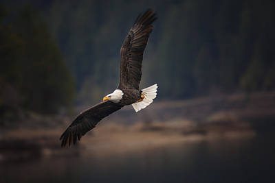 Bald Eagle In Flight Poster by Mark Kiver