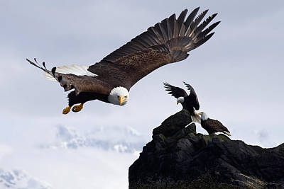 Bald Eagle In Flight Next To Ledge Poster by John Hyde