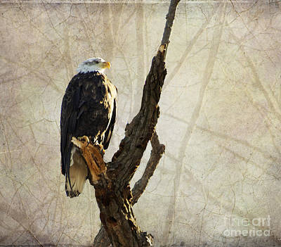 Bald Eagle Keeping Watch In Illinois Poster by Luther Fine Art