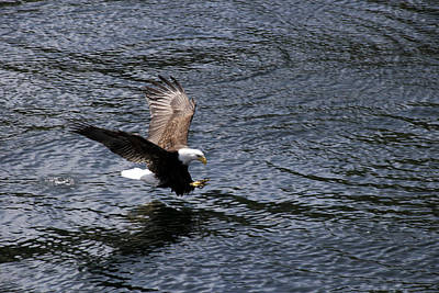 Bald Eagle Landing A Free Lunch Poster