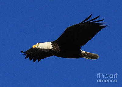 Poster featuring the photograph Bald Eagle Lock 14 by Paula Guttilla