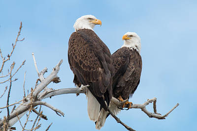 Bald Eagle Mates Form A Heart Poster by Tony Hake