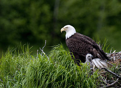 Bald Eagle Nesting With Her Chick Poster