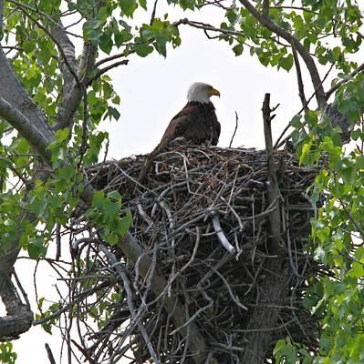 Bald Eagle On Nest Poster