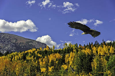 Bald Eagle Over The Aspen Poster by Stephen  Johnson