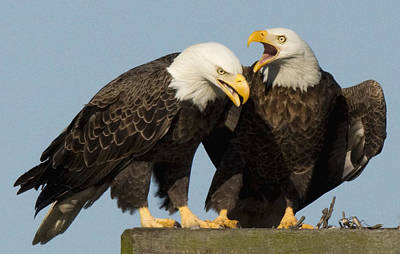 Bald Eagle Pair Poster