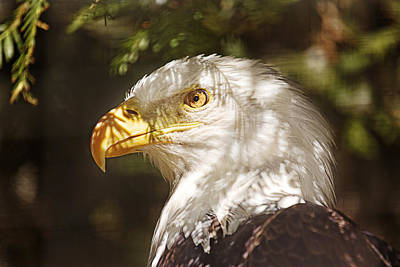 Poster featuring the photograph Bald Eagle Portrait  by Brian Cross
