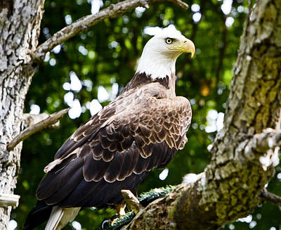 Poster featuring the photograph Bald Eagle by Ricky L Jones