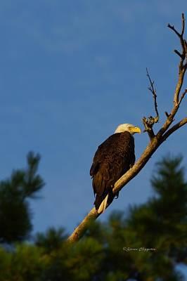 Bald Eagle Poster by Steven Clipperton
