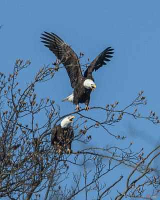 Bald Eagles Screaming Drb169 Poster