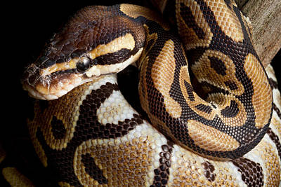 Poster featuring the photograph Ball Python Python Regius by David Kenny