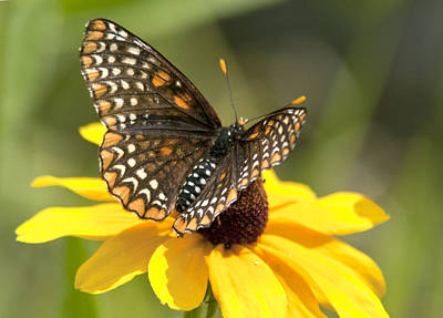 Baltimore Checkerspot And Black-eyed Susan Poster by Kathryn Whitaker