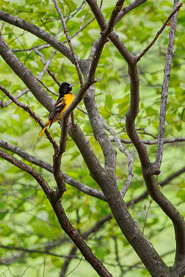 Baltimore Oriole Poster by Bill Wakeley