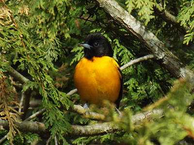 Baltimore Oriole Delight Poster by Brenda Brown