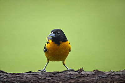 Baltimore Oriole On Cedar Log Poster by Shelly Gunderson